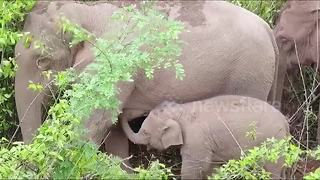 Rare footage of wild Asian elephant breastfeeding baby - Video
