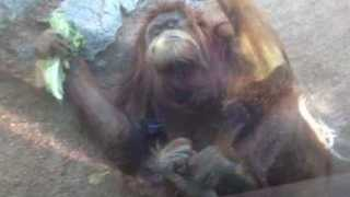 Lettuce-Loving Orangutan Rolls Around Lazily - Video