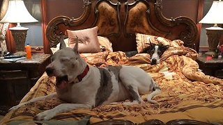 Sleepy Great Danes Take Over King-Size Bed - Video