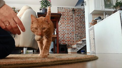 Talented cat plays fetch as if he's a dog