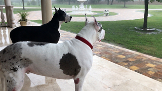 Great Danes enthralled by torrential rain in Florida - Video