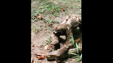 Sloth Crosses Path Of Giant Anaconda