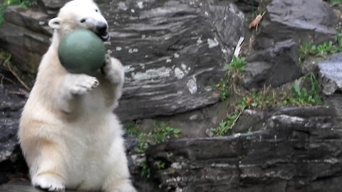 Polar bear cub adorably plays with ball at the zoo