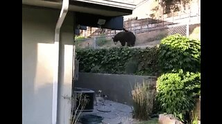 Dogs Have Standoff With Bear in California Backyard