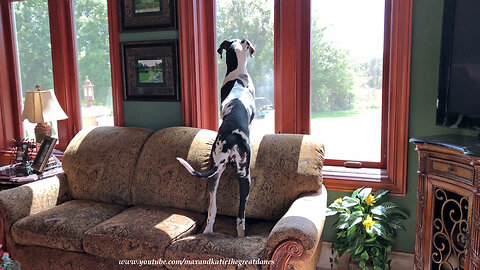 Nosy Great Dane Puppy Gets Comfy to Look Out the Window