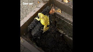 Saving Frogs From Death Traps Using Ladders - Video