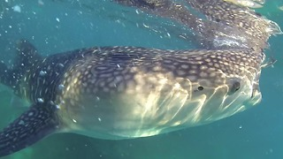 Swimming With Massive Whale Sharks In The Philippines - Video