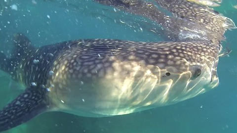Swimming With Massive Whale Sharks In The Philippines