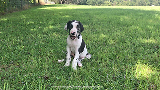 9 Week Old Great Dane Puppy Enjoys Sitting in the Sunshine