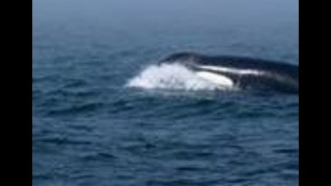 Lone Orca Swims With Dolphins and Humpback Whales in Monterey Bay