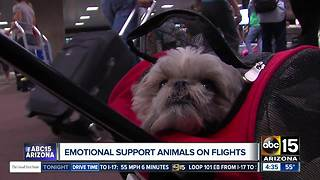Fake emotional support animals flying for free?