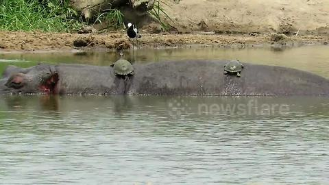 Sleepy hippo lets terrapins sunbathe on his back