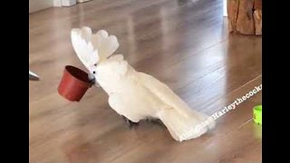 Noisy Cockatoo Keeps House Lively With Knocking Sounds - Video