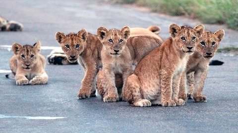 Cute Lion Cubs Cause A Roadblock In South Africa