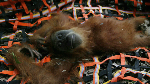 Orangutans Saved From Palm Oil Plantation Horror: WILDEST ANIMAL RESCUES