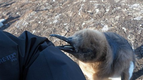 P-p-persistent penguin! Curious king penguin chick pecks at British photographer