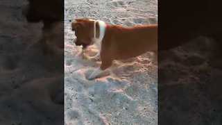 Crab Faces Off With Playful Dog on Beach in Mexico - Video