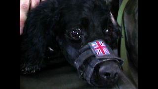 British Army Dog Injured - Video
