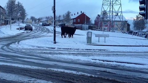 Cattle Make Their Way Through the Streets of Snow Covered Belfast