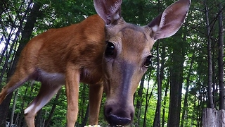 Beautiful wild doe enjoys a snack - Video