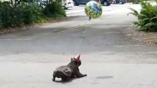 Dog tries to catch his birthday balloon!
