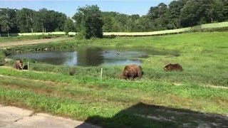 Bears Play in Pond in Adventure Park - Video