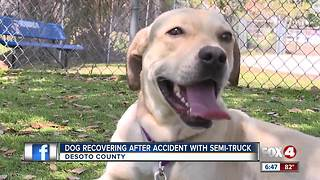 Local Dog Recovers from accident with Semi Truck - Video