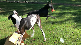 Funny Great Danes Open A Box of Little Bags Of Snacks And Start Snacking