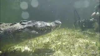 Photographer comes face-to-face with massive alligator - Video