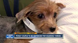 Couple to be sentenced for hoarding Yorkies - Video