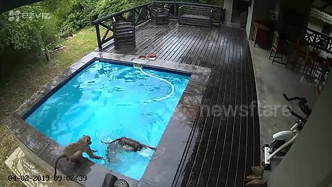 Breast-stroking baboons take over family swimming pool in South Africa