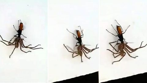 Wasp poisons spider and drags it away to lay eggs in it