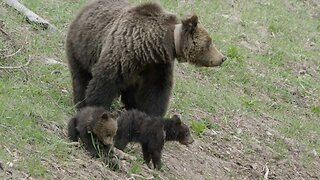Un-bear-lievably Cute Pair Of Cubs Play Together While Their Mother Gets On With The Bear Necessities