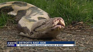 18-foot python caught scaling a roof