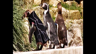 Penguin Wears Jacket - Video