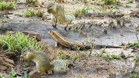 Giant lizard and two squirrels happily share tasty snack together