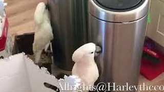 Harley the Cockatoo Faces an Inanimate Household Object - Video