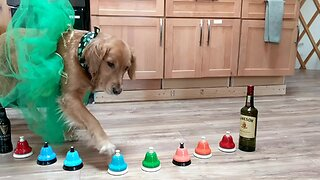 Golden Retriever Plays 'Danny Boy' On Bells For St. Patrick's Day - Video