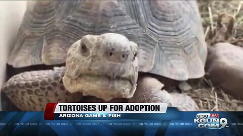 Tortoises who've survived cars hitting them up for adoption by AZGFD