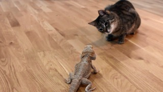 Curious cat meets friendly bearded dragon - Video