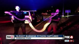 12-Foot Burmese Python Captured