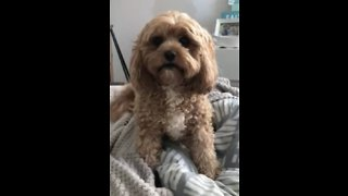 Super excited dog can't wait to open birthday present - Video
