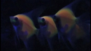 Glowing Fish - Video