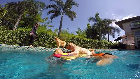 Golden Retrievers Rescue Stranded Puppy In Pool