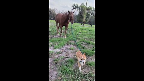 Check out this corgi pulling a horse on a leash