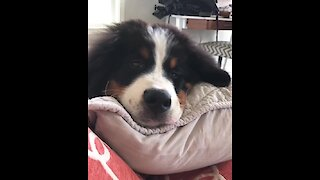 Berner puppy embarrassingly falls off the couch