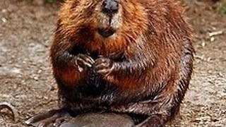 Beaver walks home after tough day at the dam - Video