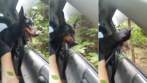 Doberman hilariously grabs tree branches as they drive by