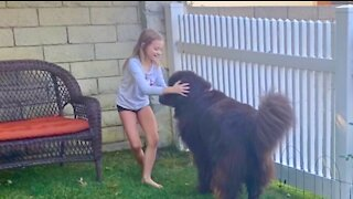 Newfie loves playing hide-and-seek with little girl