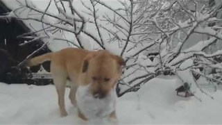 Excited Dog Cannot Get Enough of the Snow - Video